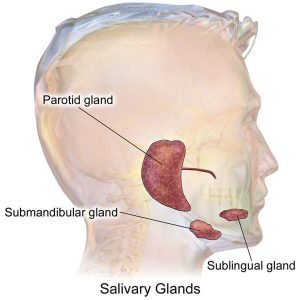 salivary-glands